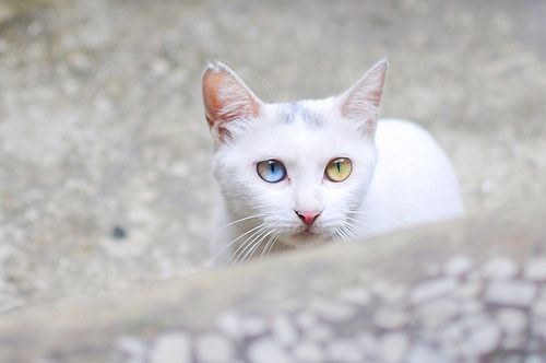 Blue Yellow Eyes Cats Cute Cats White Cats
