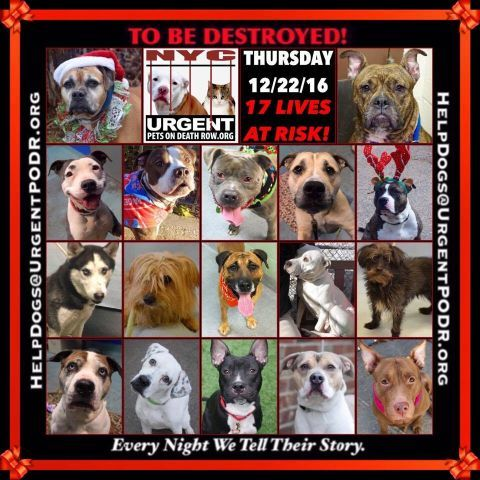 """17 BEAUTIFUL LIVES TO BE DESTROYED 12/22/16 @ NYC ACC **SO MANY GREAT DOGS HAVE BEEN KILLED: Puppies, Throw Away Mamas, Good Family Dogs. This is a HIGH KILL """"CARE CENTER"""" w/ POOR LIVING CONDITIONS. Please Share: To rescue a Death Row Dog, Please read this: http://information.urgentpodr.org/adoption-info-and-list-of-rescues/ /"""