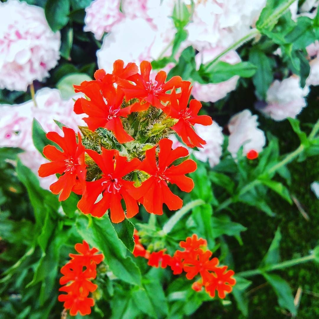 Brennende Liebe ... oder so  #Garten #Gartenliebe  #sommer #bloom #blooms #Gartenglück #Gartenzeit #Gartenträume #Gärten #Blume #Blumen #Blumenliebe #Blumenfotografie #blumenzauber #nature  #naturelover  #naturephotography  #flowers #natureporn #flower #naturesbeauty  #naturelove  #PictureoftheDay  #Photooftheday
