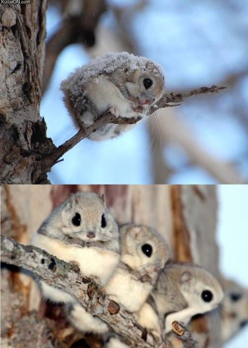 baby Japanese flying squirrels - aaack!!! the cuteness!!!
