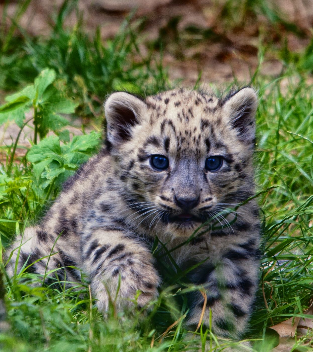Cute baby snow leopard cubs - photo#21