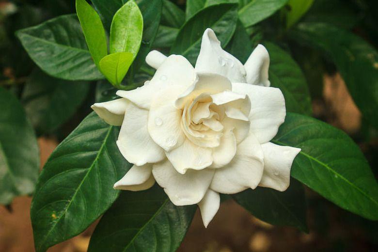 Gardenia Jasminoides Mystery Cape Jasmine Mystery Mystery Cape