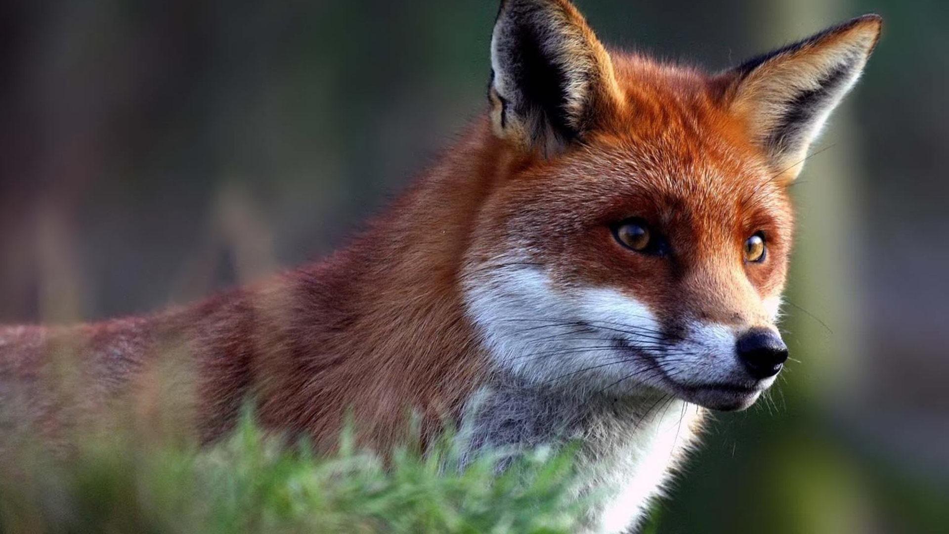 Image result for Cute Fox Desktop Wallpaper Animals, Fox