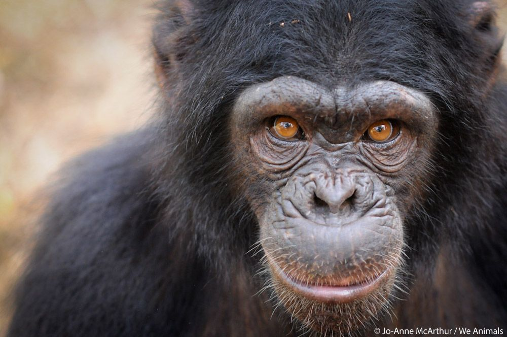 chimpanzee width=