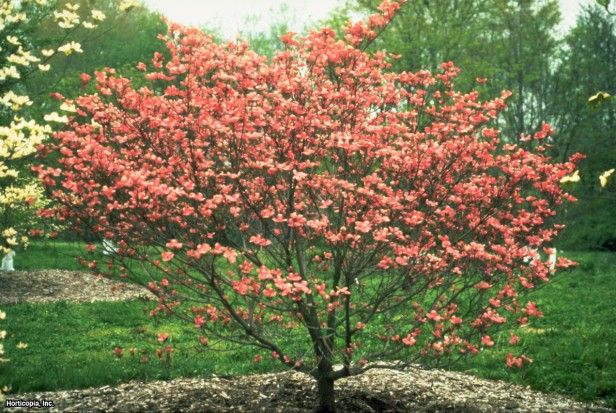 Cornus florida 39 red beauty flowering dogwood variety can for Small tree varieties