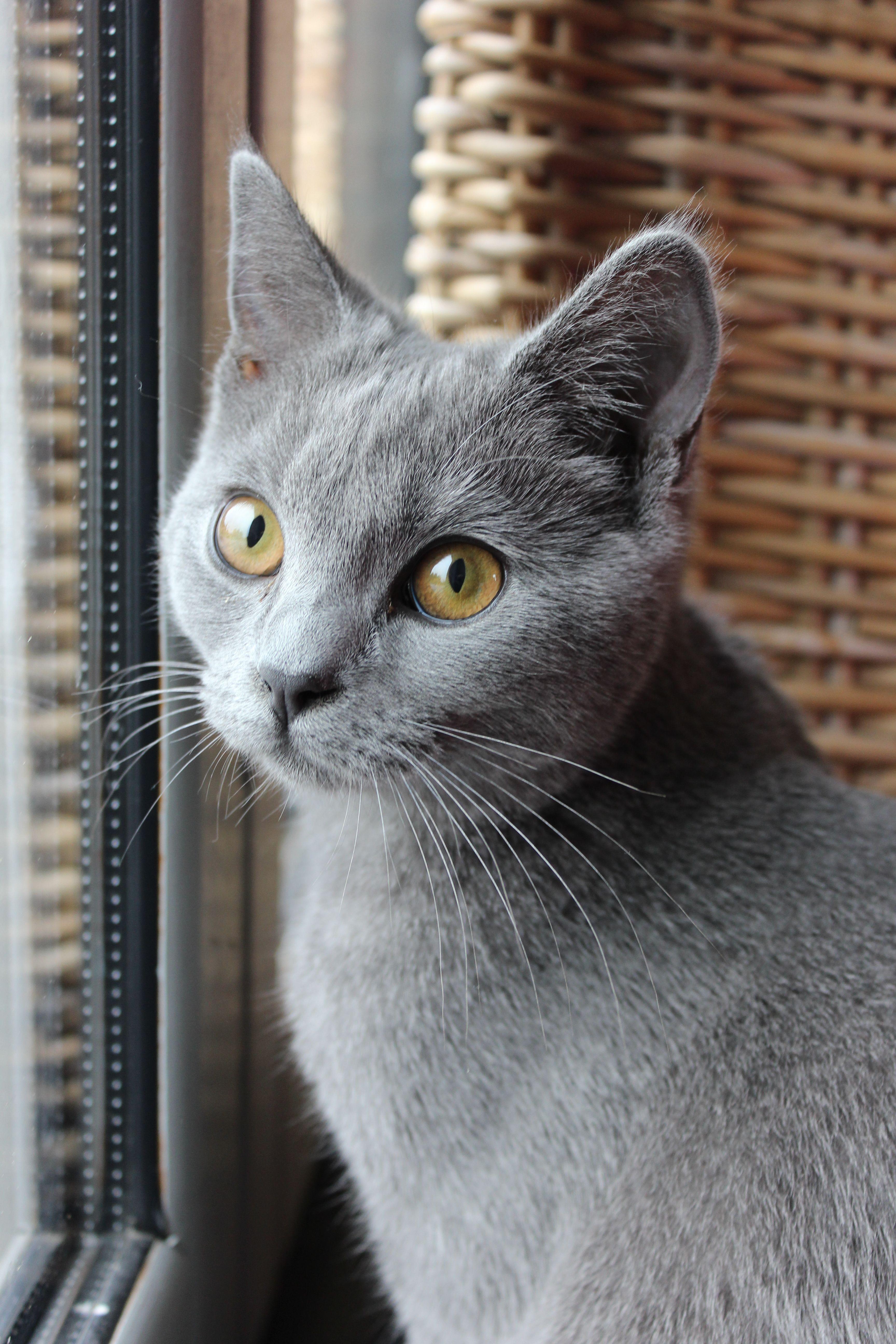The Russian Blue Cat Russian Blue Cat Burmese Cat Russian Blue