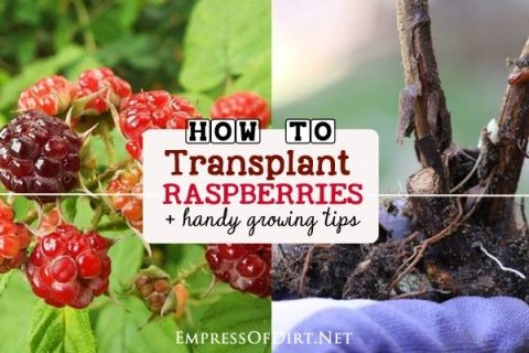 How+to+transplant+raspberries+plus+tips+for+growing+this+delicious+summer+fruit+in+the+home+garden.