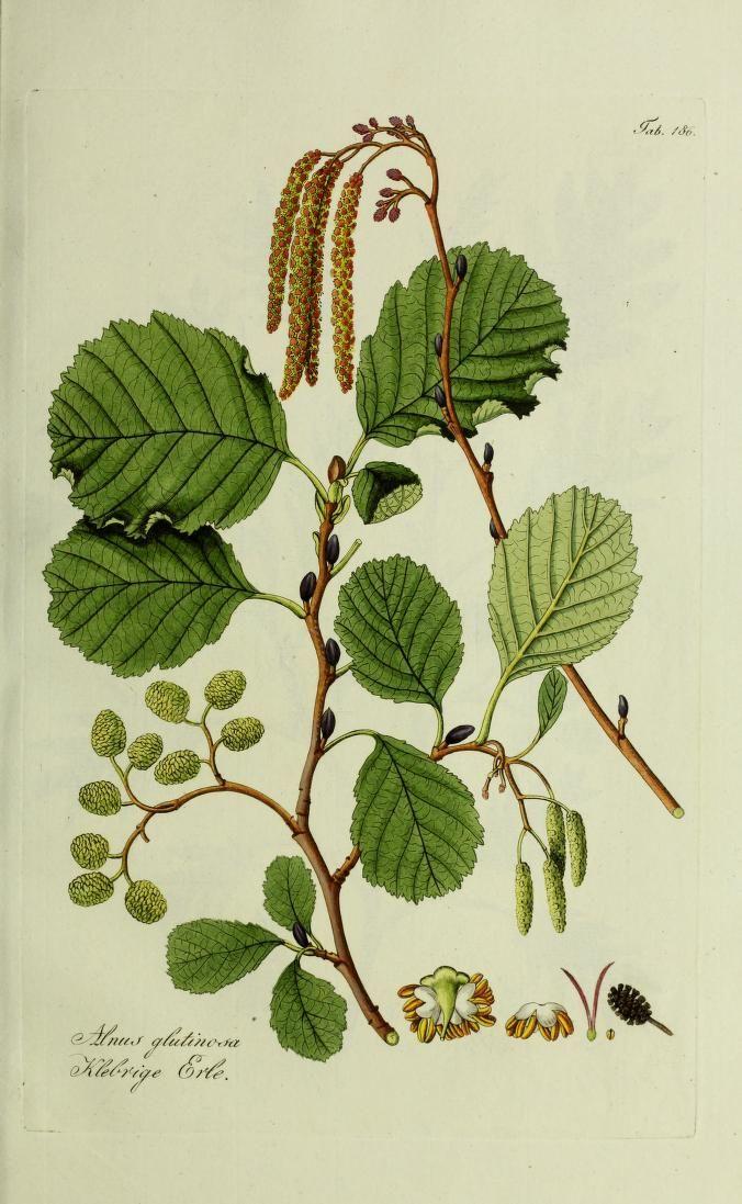 Bd.4 (1822-1839) - Österreichs allgemeine baumzucht, : - Biodiversity Heritage Library