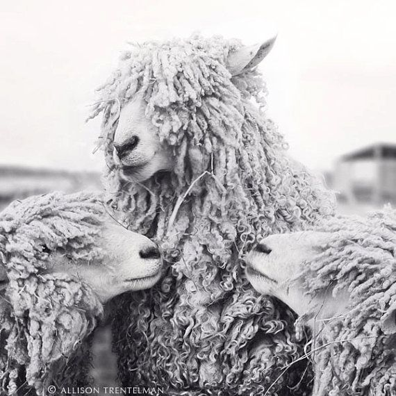 Allison trentelman black and white photography print sheep with backup singers