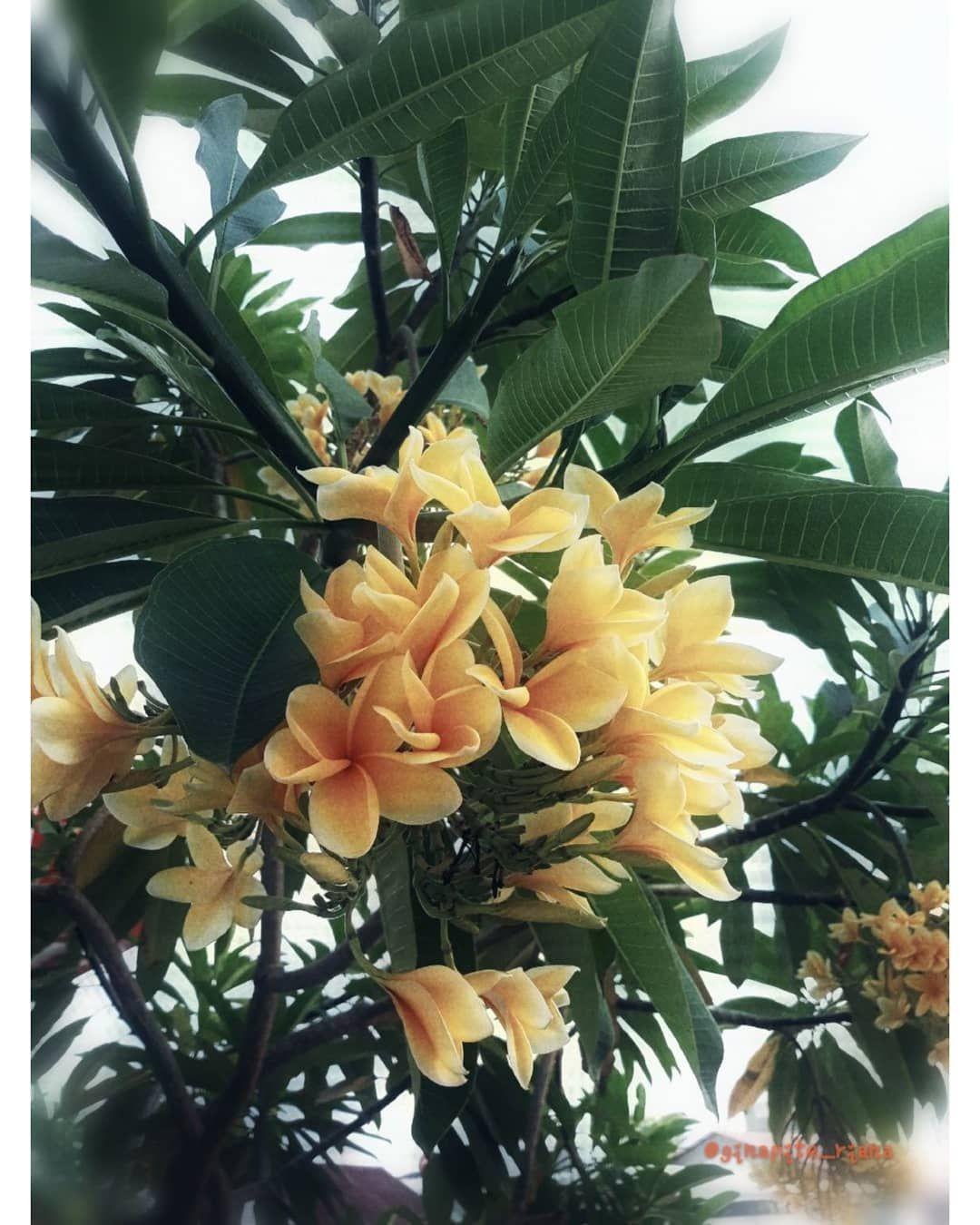 Pohon Kamboja Ditemukan Oleh Seorang Botanis Berkebangsaan Prancis Yang Bernama Charles Plumier Karena Itulah Bunga Kamboj House Plants Plants Tropical Plants