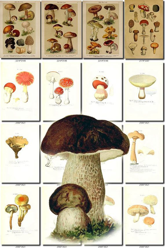 MUSHROOMS9 Collection of 232 vintage images by ArtVintage1800s