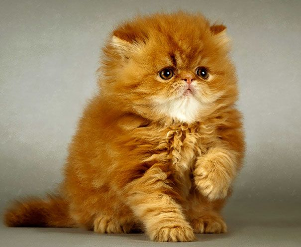 Fluffy Ginger Cute Animals Beautiful Cats Kittens Cutest
