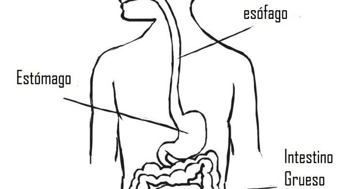 Dibujo Aparato Digestivo Para Colorear Imprimir: El Aparato Digestivo - Web Del Peque