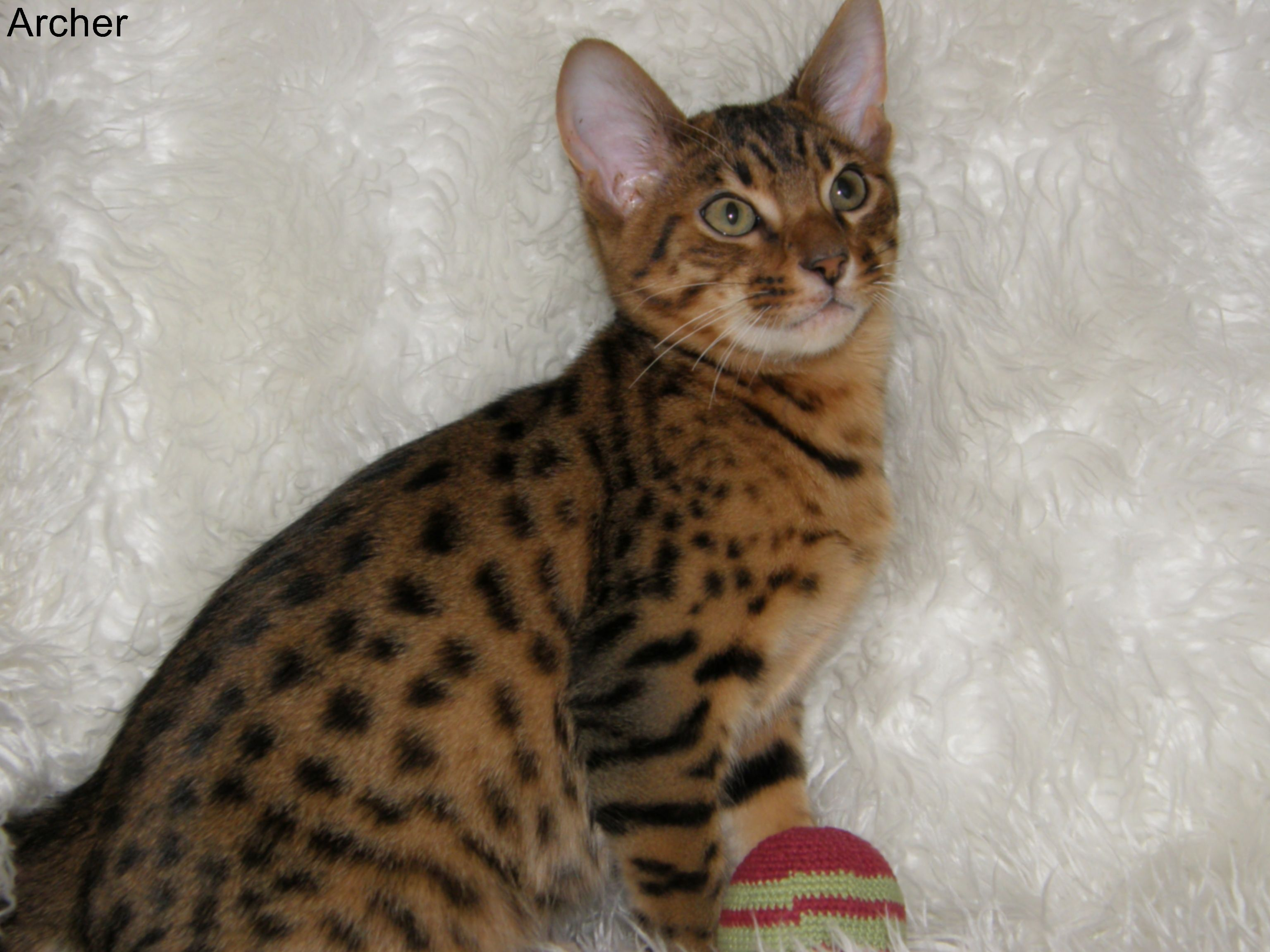 "Archer"" Cheetoh Kitten Pets Pinterest"