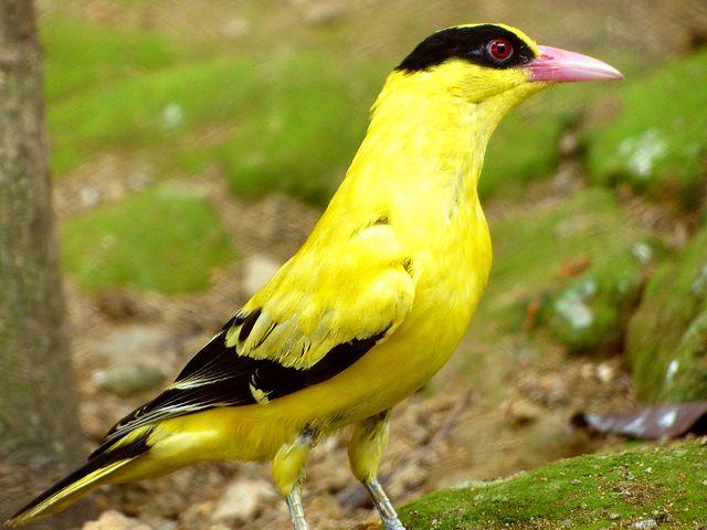 Black Naped Oriole Yellow Bird Vogels Leo