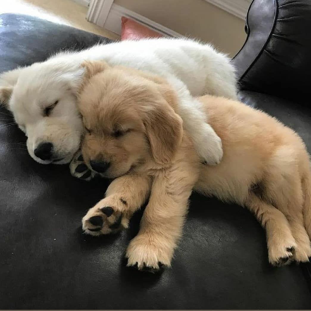 Retrievers Puppies Dogs On Instagram Follow Me