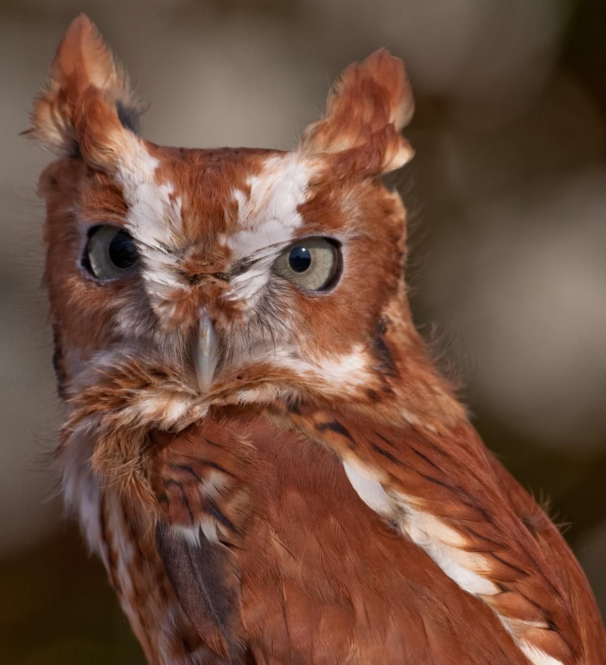 A Brief Introduction to the Common Types of Owls (With ...