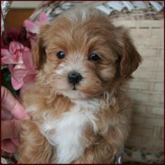 Maltipoo Puppy With Images Maltipoo Puppy Maltese Poodle Puppies Poodle Puppy