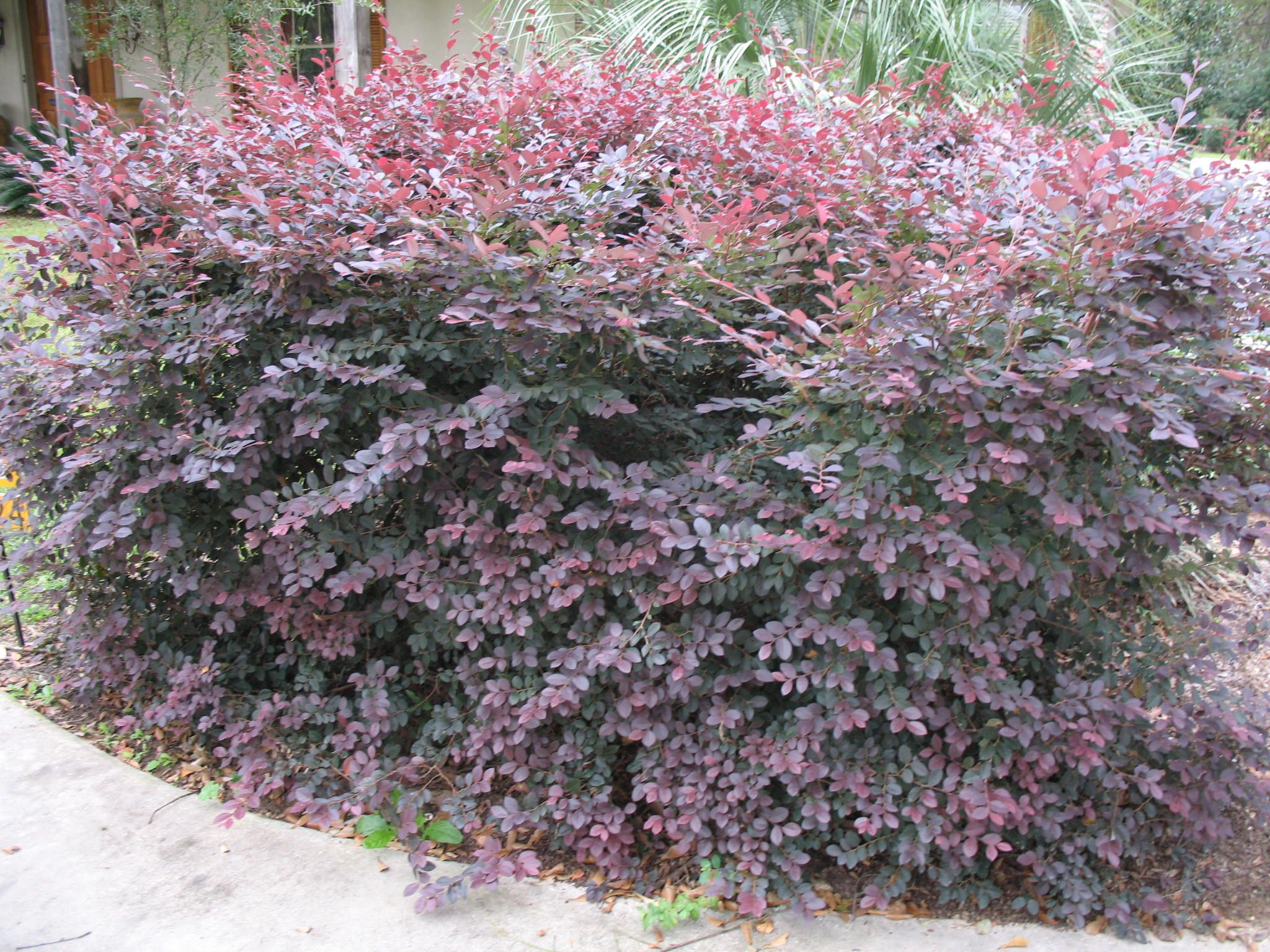 Best shrubs for full sun and privacy - Chinese Fringe Flower Plants Are Ornamental Evergreen Shrubs Many Gardeners Choose The Chinese Fringe Flower Plants Because Of The Ability To Regulate Its