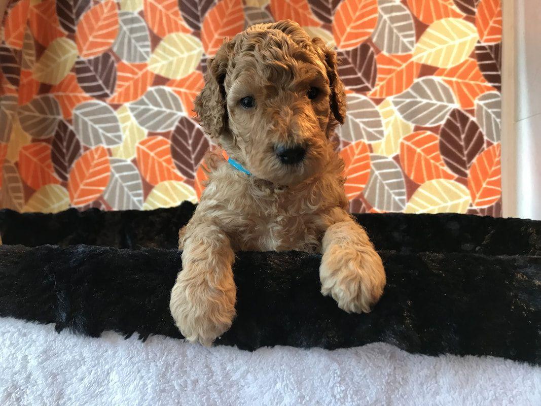 Apricot standard poodles puppies for sale poodle puppy