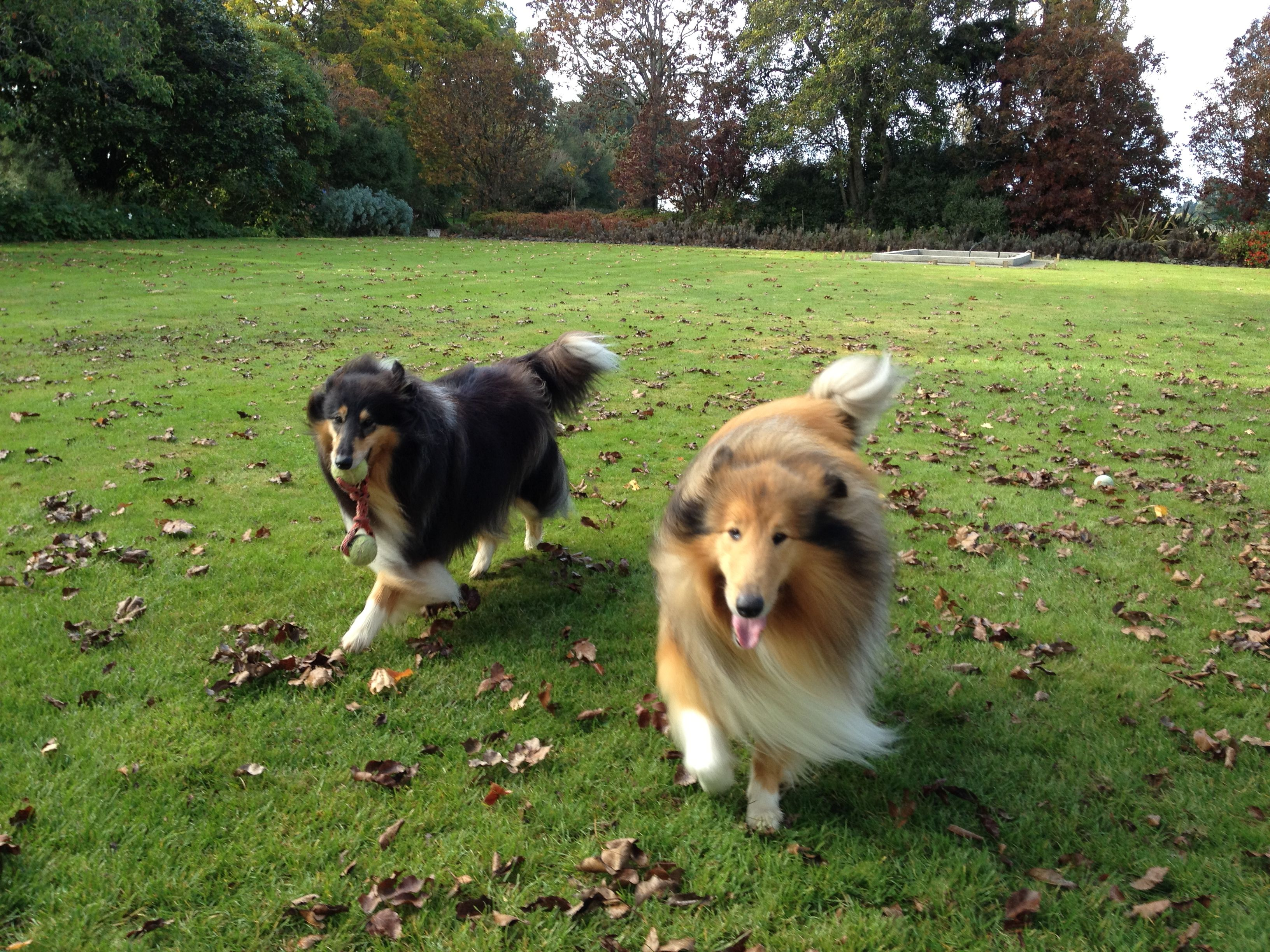 We Were Both Born On The Same Day Different Litters Dannie With Toy Tri And Jasper Sable Rough Collie Dogs Collie