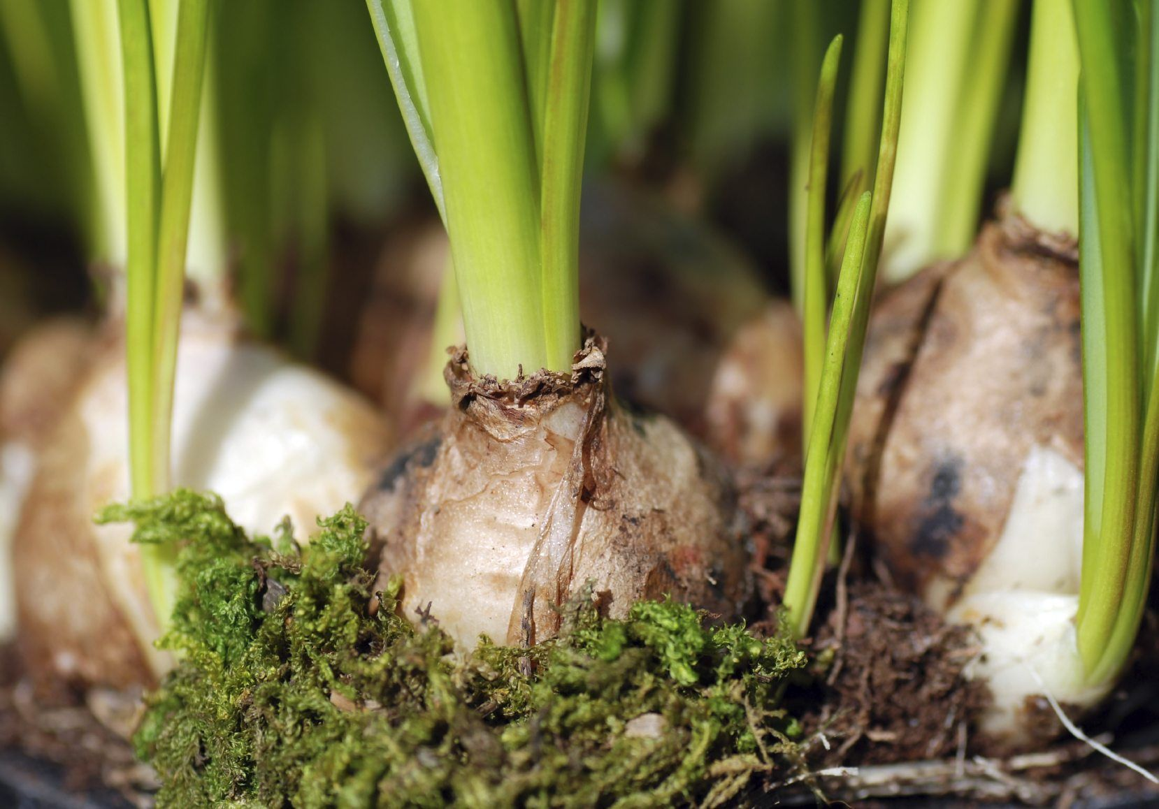 Digging grape hyacinths how to store hyacinth bulbs after