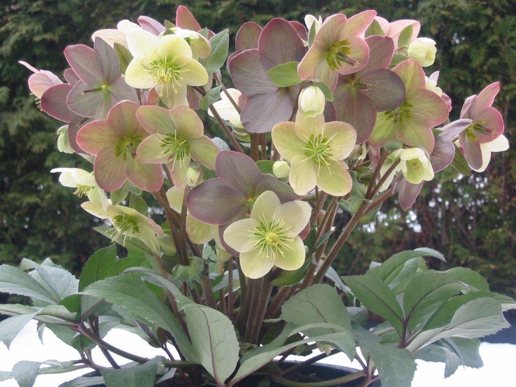 helleborus xericsmithii winter magic u0027candy love u0027 ppaf plants