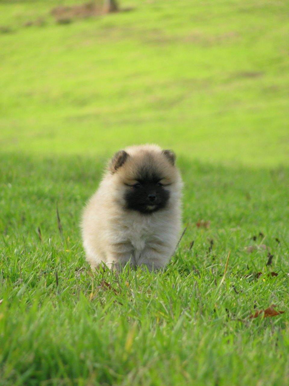 pomeranian puppy shady hill kennel athens arkansas he is