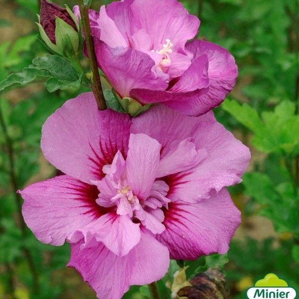 Hibiscus syriacus Eruption - Althéa ou mauve en arbre   Hibiscus