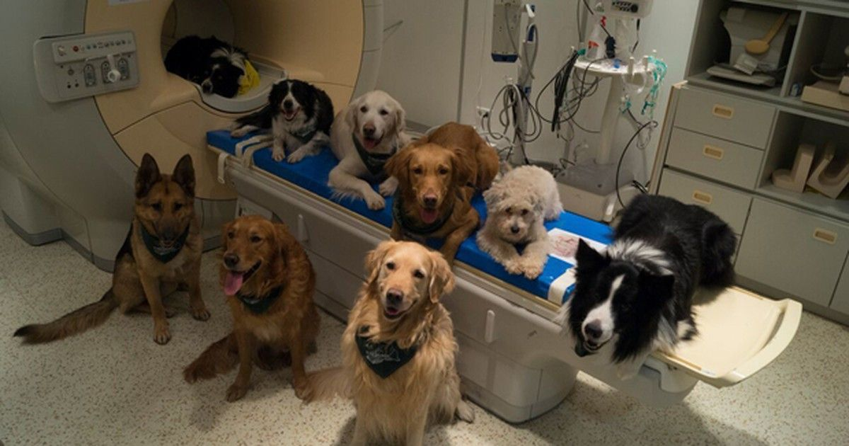 Cães distinguem palavras e entonações com mesma região do cérebro humano