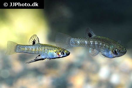 Girardinus metallicus