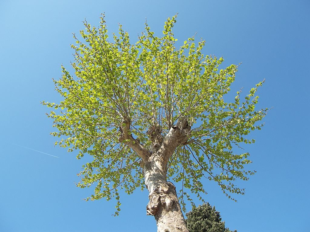 Immagini Di Piante E Alberi noce - juglans è un genere di piante angiosperme