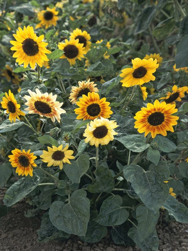 Branching Sunflower Types Of Sunflowers Healthy Garden Flowers