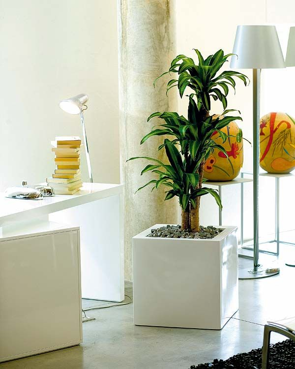 Mass Cane Or Corn Plant In A Modern Container Perfect For A Home