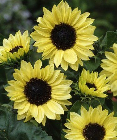 Buy Sunflower Flower Seeds Wildflower Seeds Edible Landscaping Sunflower Flower