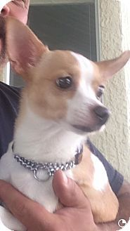 Sacramento Ca Chihuahua Mix Meet Trudy A Puppy For Adoption