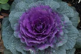 ornamental cabbage plant - Google Search