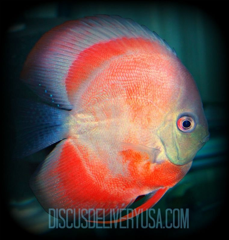 The World S Finest Discus Fish Delivered Right To Your Home Or Office Discus Fish Fish Pet Fish