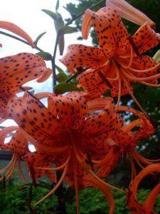 Amazon.com: 25+ Lilium Superbum Turks Cap Lilly Flower Seeds / Perennial: Patio, Lawn & Garden