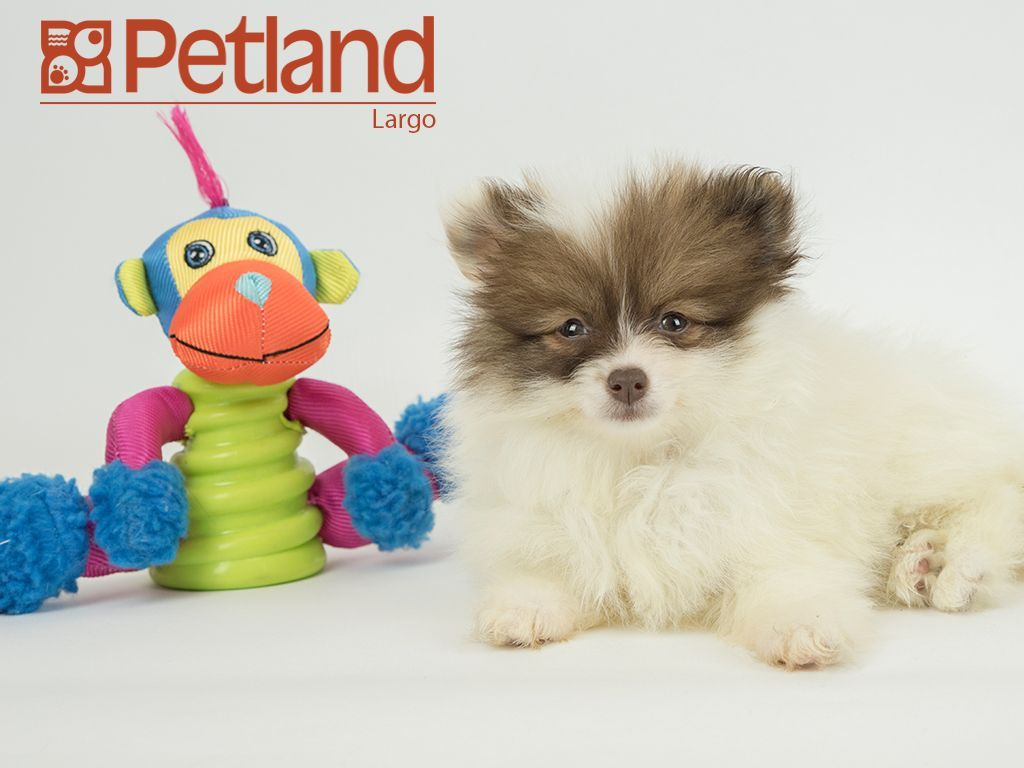 Petland Florida Has Pomeranian Puppies For Sale Interested In Finding Out More About This B Puppy Friends Pomeranian Puppy For Sale Pomeranian Puppy