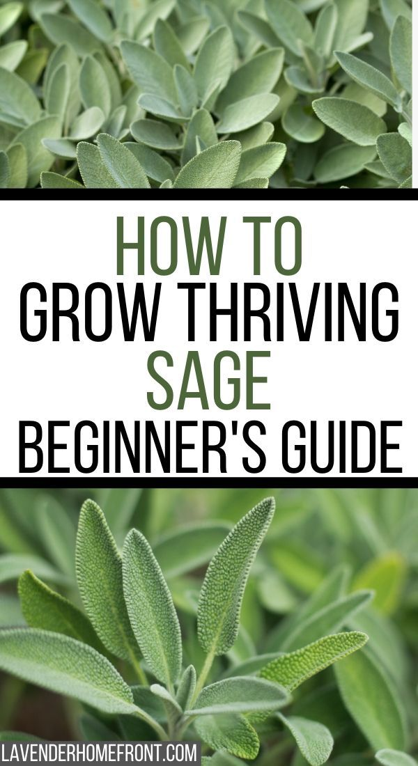 Learn how to grow and harvest this great herb. Sage has many culinary and medicinal benefits, it's a great herb to add to your garden and easy to grow too! #gardenideas #gardeningtips #gardenprojects #herbgardening
