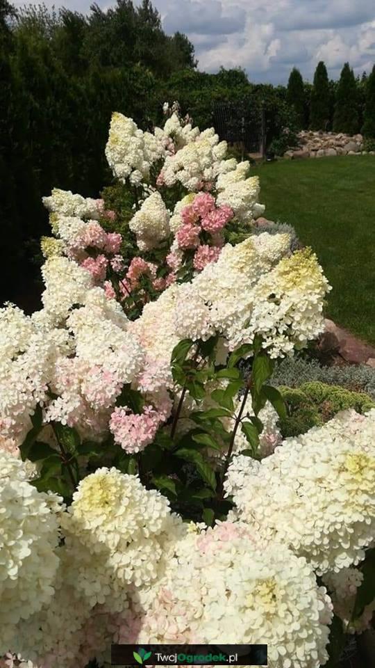 Piekna Hortensja Bukietowa Garden Design Hydrangea Landscape Design