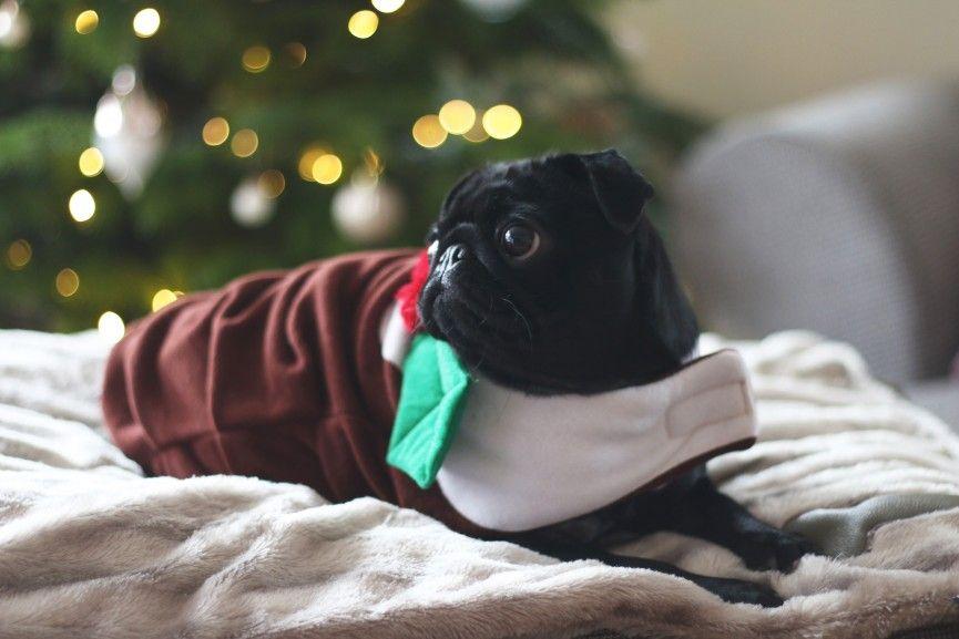 Nalas Christmas Photoshoot Black Pug Puppies Black Pug Photoshoot