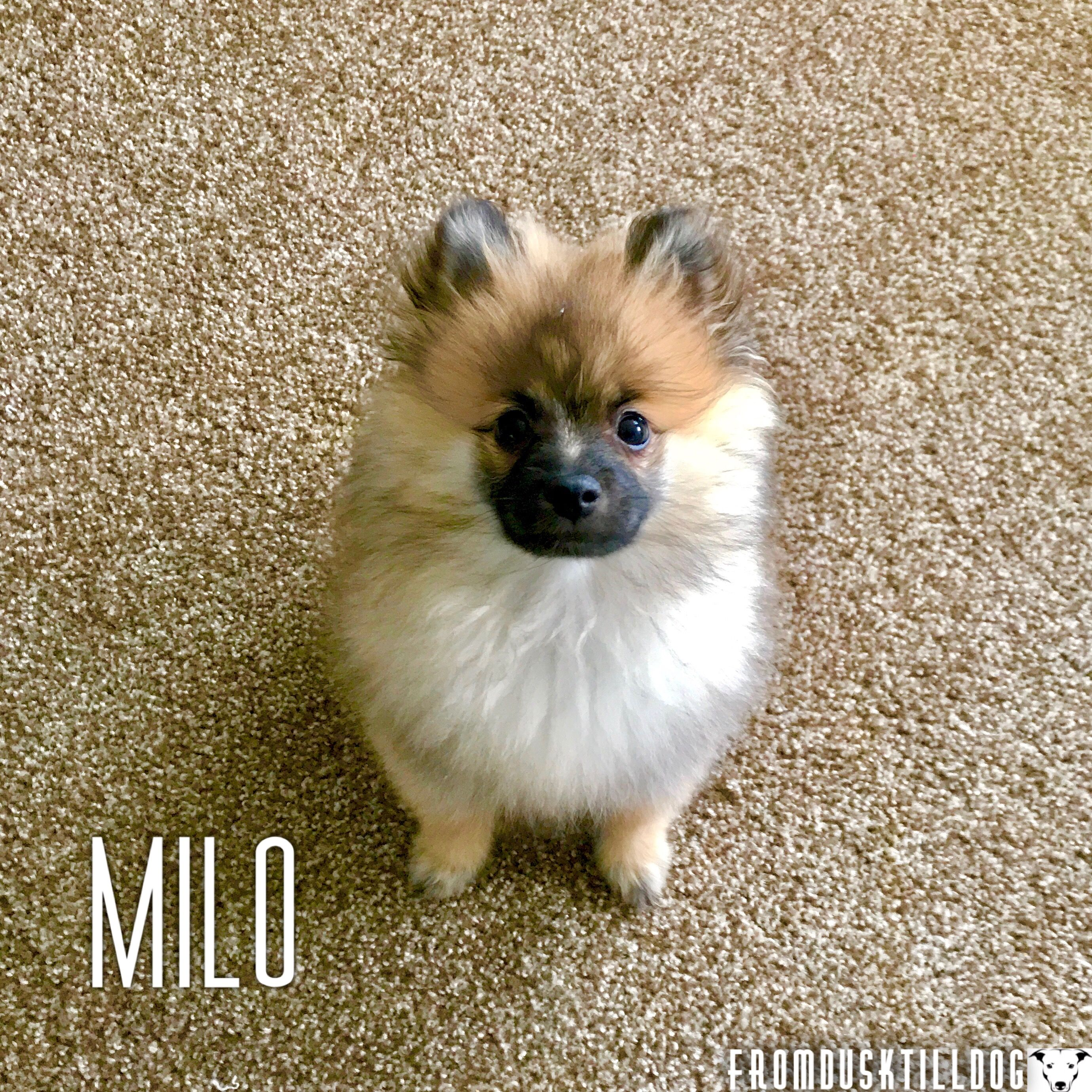 Welcome Milo To The From Dusk Till Dog Family He Is A 3 Month Old