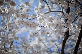 Risultati immagini per fiori di ciliegio bianchi a Washington