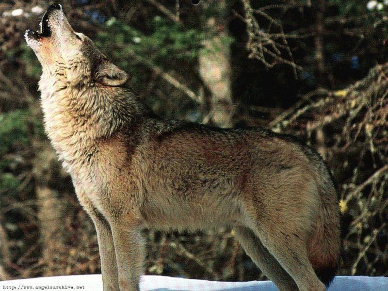 Epingle Par Feliya Sur Animaux Loup Loup Gris Dessin Gratuit