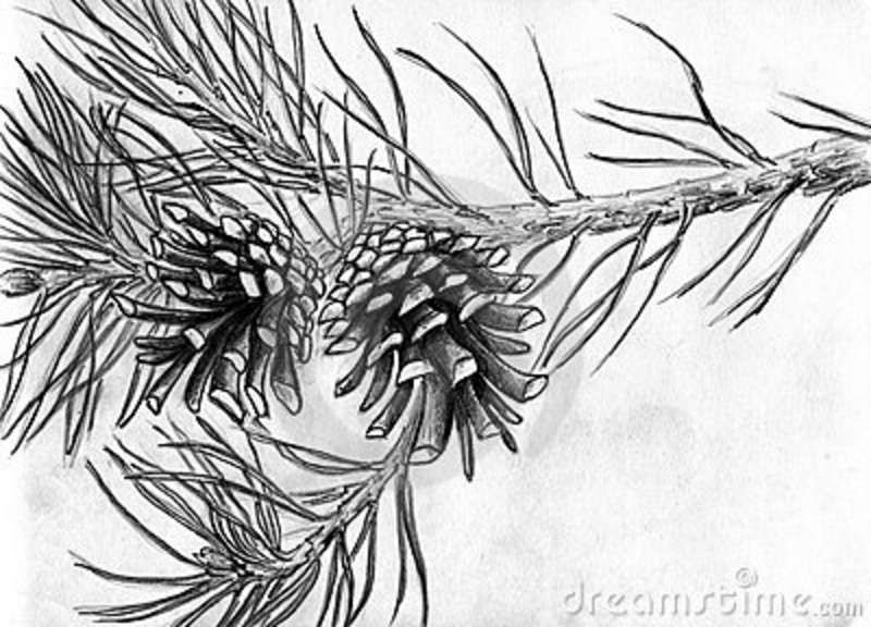 Pine Cones Drawing Google Search China Painting Trees