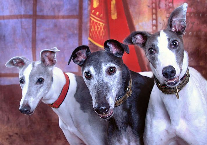 Pin By Louie On Animals And Pets Grey Hound Dog Racing Dogs Lurcher