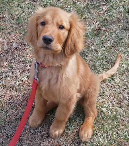 Adopt Ranger On Petfinder Dogs Golden Retriever Dog Lovers Dogs And Puppies