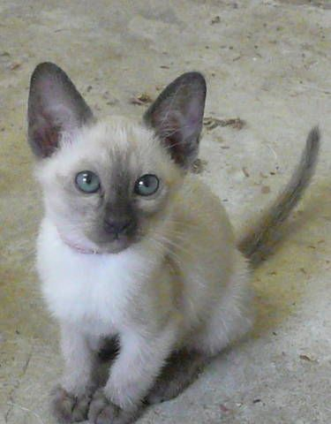 Tonkinese Tonkinese Cat Siamese Cats Facts Tonkinese Kittens